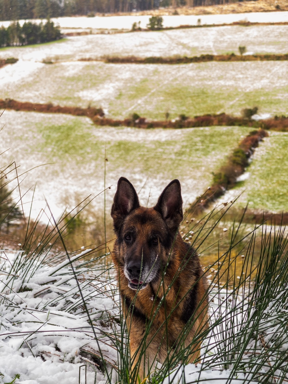 A German Shepherd climbing up a hill in a mountain valley in the snow.