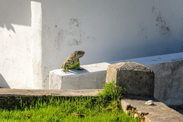 Key West Cemetery Iguana