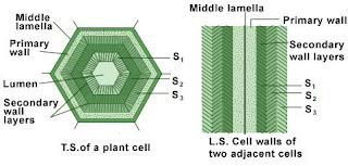 lapisan dinding sel
