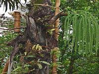 Mengenal Pohon Enau Penghasil Gula Aren Untuk Obat Herbal
