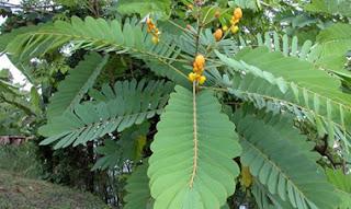 blend senna leaves