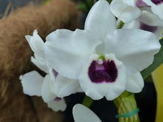 Dendrobium Chian-Tzy Sweet - Dendrobium Chian-Tzy Darumanes x Dendrobium Hamana Lake