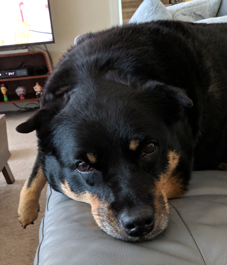 image of Zelda the Black and Tan Mutt lying on the couch, looking at me with plaintive eyes