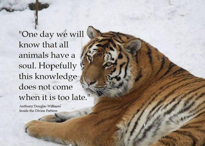 Tiger Animal Quotes. QuotesGram