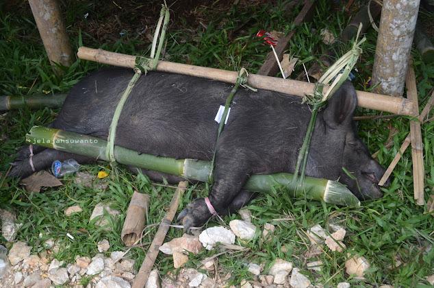 Babi sebagai sumbangan untuk upacara Rambu Solok Tana Toraja || JelajahSuwanto