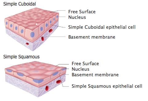 Hong Liu: Epithelial Tissue Labeling