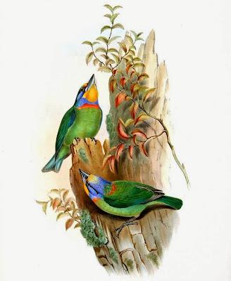 Taiwan barbet Psilopogon nuchalis