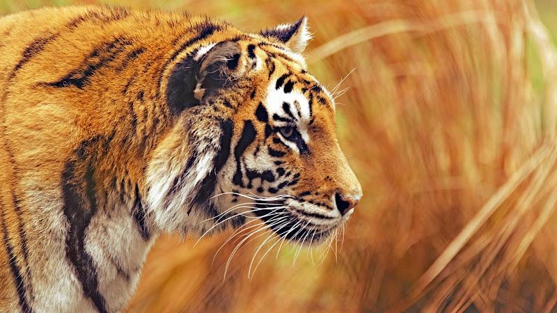 Bengal Tiger HD