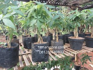 harga pohon pachira kepang