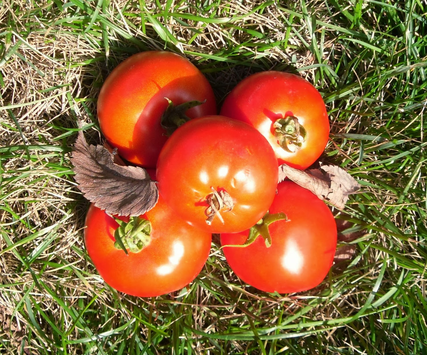 Fresh juicy red tomatoes