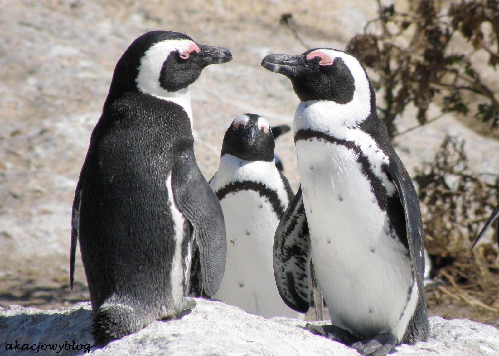 Pingwiny przylądkowe - jedyne pingwiny Afryki.