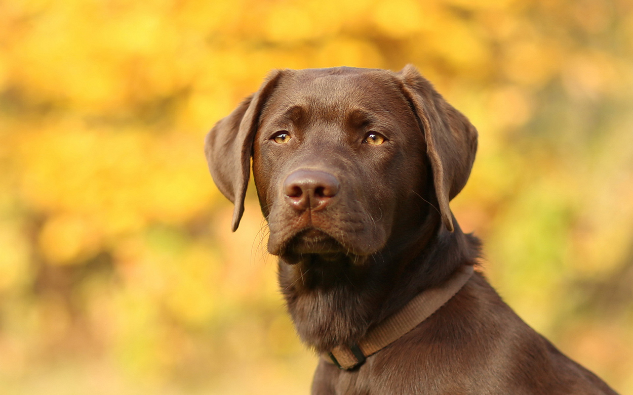 Sad Chocolate Labrador with golden eyes looking straight at the camera on yellow background