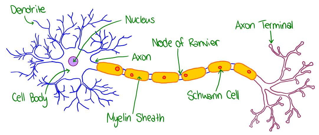 Neuron diagram colored choice image how to guide and refrence ccuart Choice Image
