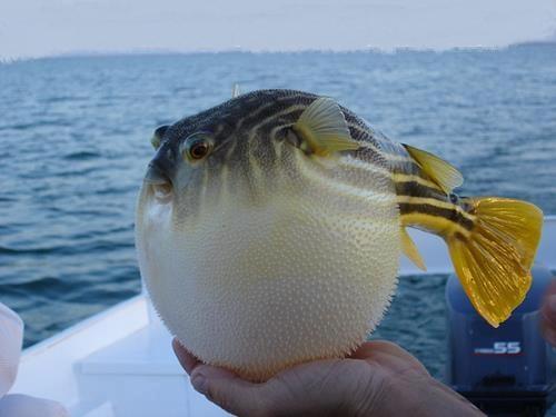 giant puffer fish puffed up - photo #27