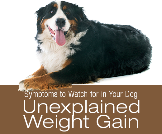 Symptoms To Watch For In Your Dog: Unexplained Weight Gain