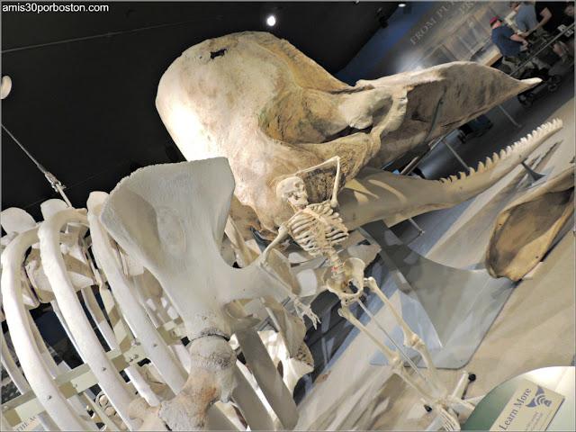 Esqueletos de un Cachalote y un Hombre en el Museo de las Ballenas de New Bedford