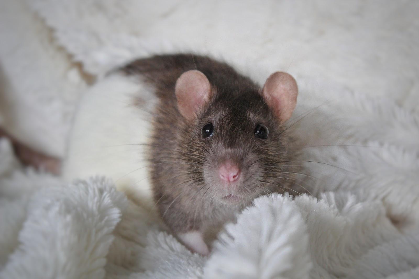 Maisie&Jena - szczury z Wrocławia
