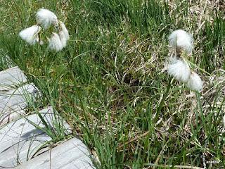 Plantes anémophiles
