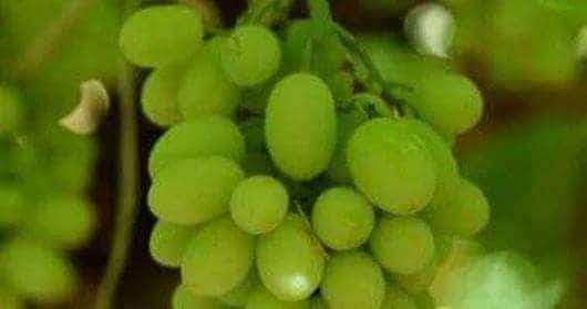 فوائد العنب المتعددة لصحة الإنسان