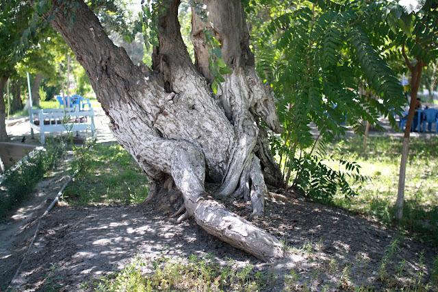 Ouzbékistan, Boukhara, Parc des Samanides, arbres, © L. Gigout, 2010