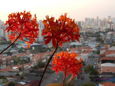 Orquídea Epidendrum fulgens