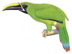Aulacorhynchus atrogularis