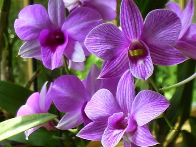 Gambar Bunga anggrek larat