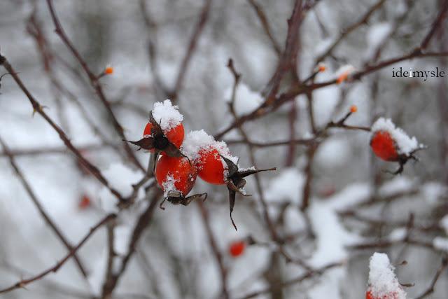 rosa canina, jadalne owoce leśne, dzikie rośliny jadalne, dzika róża