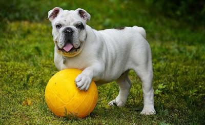 Bulldog inglés características