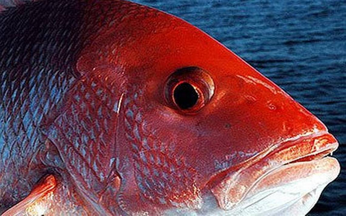 Red snapper length weight chart frozen red snapper red snapper with this method you do not need to calculate the snapper weight with scales and it can be done in short time snapper fish weight and length is varied nvjuhfo Images