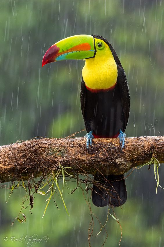 Keel-billed Toucan (Ramphastos sulfuratus)   Our World's 10 Beautiful and Colorful Birds