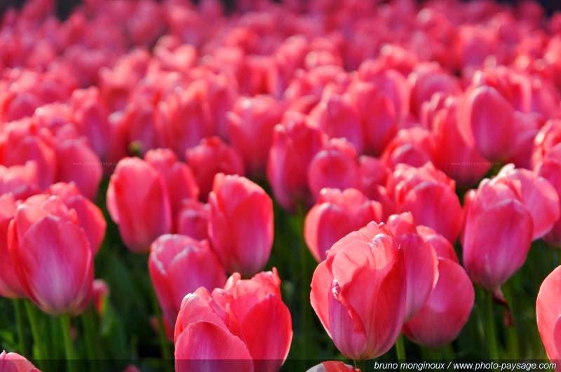 Foto Gambar Bunga Tulip Warna Pink