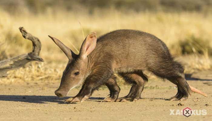 Binatang pemakan semut - Babi Tanah (Aardvark)