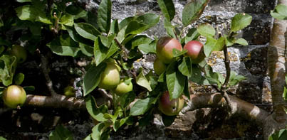 Clovelly Apple Day