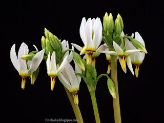 http://fotobabij.blogspot.com/2015/04/byzykwiat-meada-kwiaty-dodecatheon.html