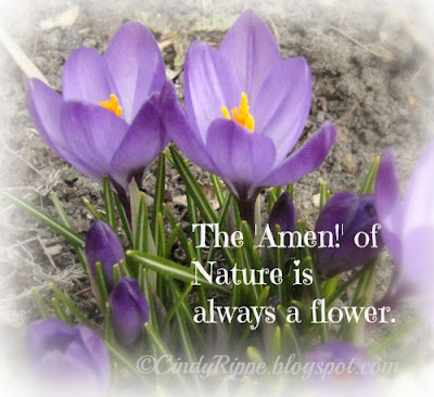 purple crocus flowers, first flowers of spring, Oliver Wendell Holmes quote, tiny flowers, Florals-Family-Faith, Cindy Rippe