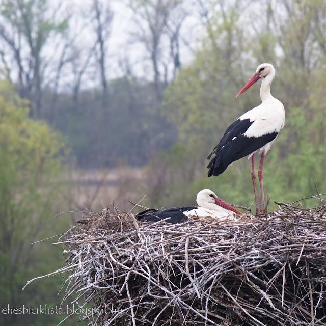 A gólyafészek a Tisza töltés mellett két gólyával