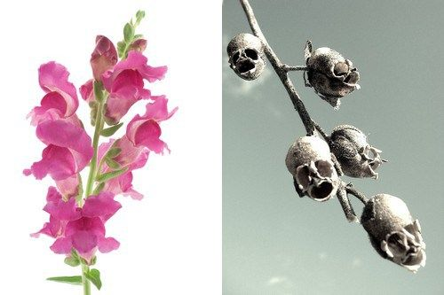 Snapdragon and its Skull flower