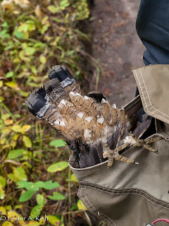 Ruffed grouse in a game bag