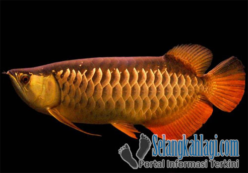 Arwana Red Tail Golden