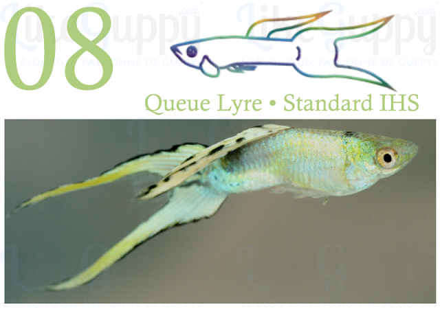 guppy-queue-lyre-standard-ihs