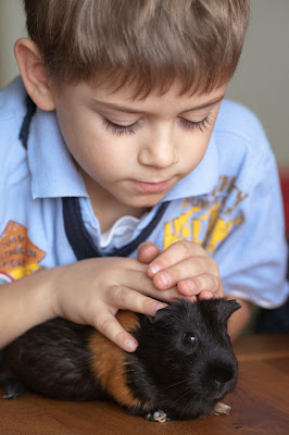 A boy strokes a black-and-tan guinea pig on the table at home