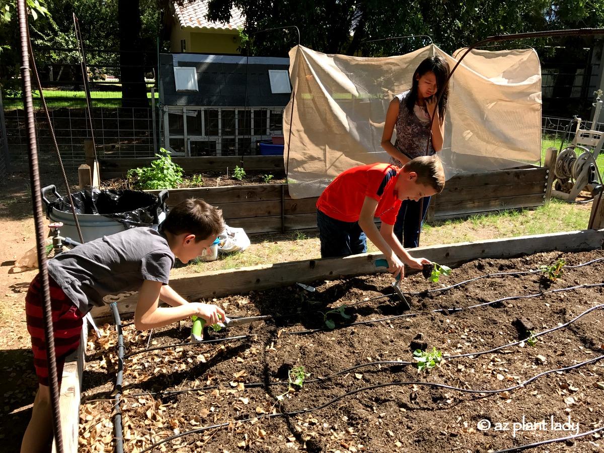 A Broken Leg and a Vegetable Garden - Ramblings from a Desert Garden