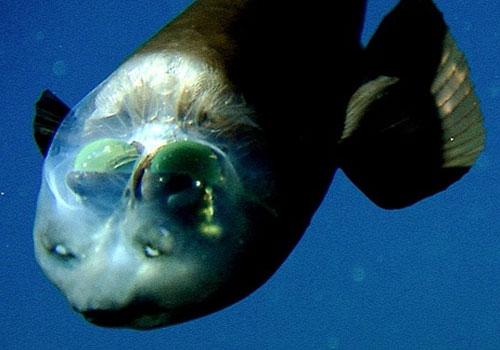 new: 管眼魚 Macropinna microstoma