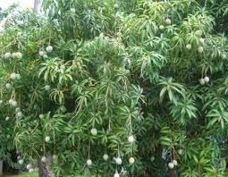 kumpulan ciri ciri pohon mangga