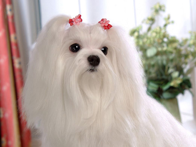 Cute Pets Maltese Dog Picture - Cute Pets