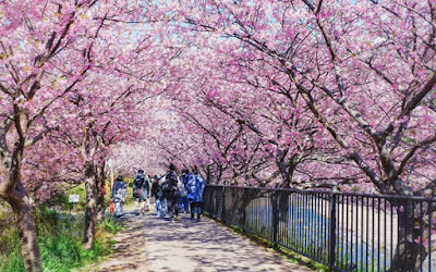 Cerejeiras kawazuzakura