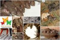 كارني ماتا: معبد الفئران في الهند