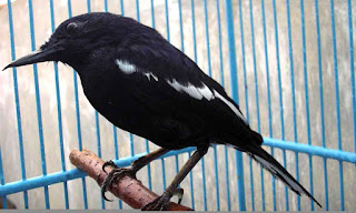 kacer jawa www.burung45.blogspot.com