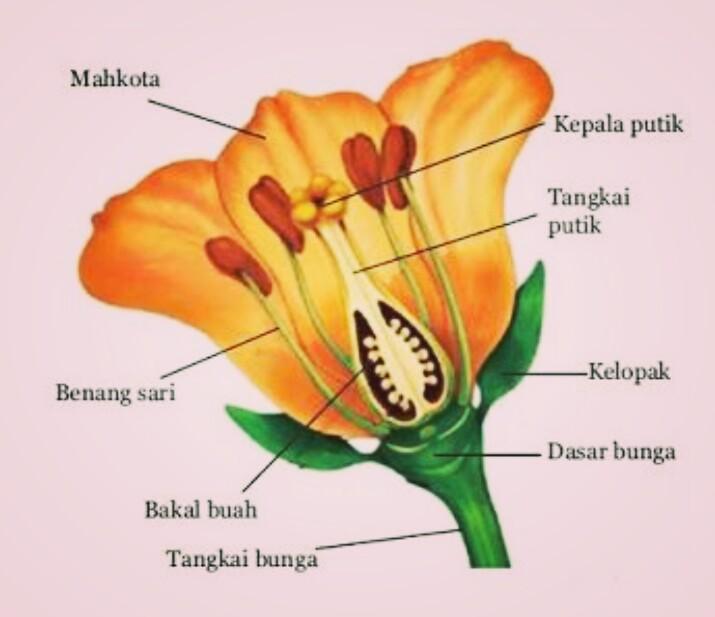 Pengertian Bunga Bagian Bagian Bunga Serta Fungsinya Bagi Tumbuhan Cinta Sain Cinta Sains